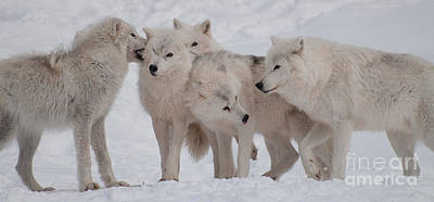 Wolf Photograph - The Pack by Bianca Nadeau