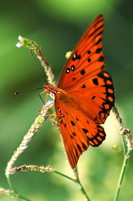 Photograph - The Passion Butterfly by Kim Pate