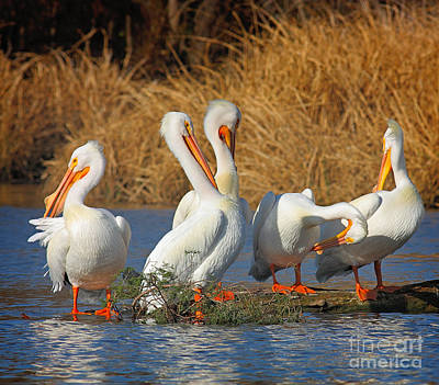 Wild Photograph - The Pelican Gang by David Cutts