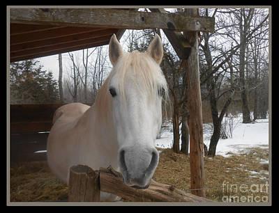 The Picture Perfect Paso Fino Stallion Print by Patricia Keller