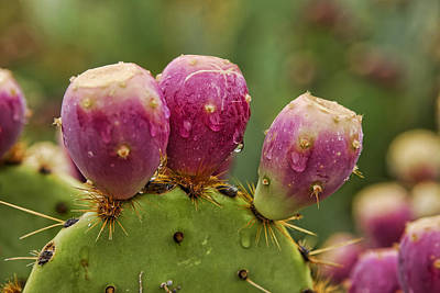 The Prickly Pear  Print by Saija  Lehtonen