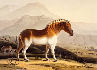 Zebra Drawing - The Quahkah by Samuel Daniell