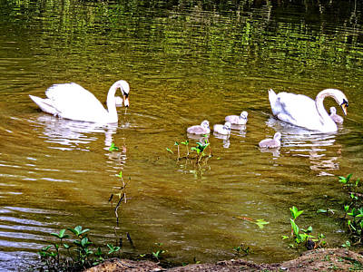 The Queens Swans Print by Marilyn Holkham