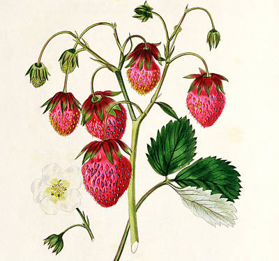 Leaf Drawing - The Roseberry Strawberry by Edwin Dalton Smith