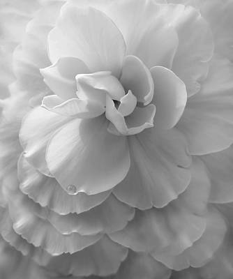 Platinum Photograph - The Silver Lady Begonia Flower by Jennie Marie Schell