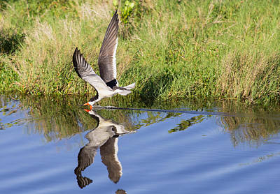 Animal Photograph - The Skimmer by John M Bailey