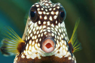 Close Focus Nature Scene Photograph - The Smooth Trunkfish  Lactophrys by Dave Fleetham
