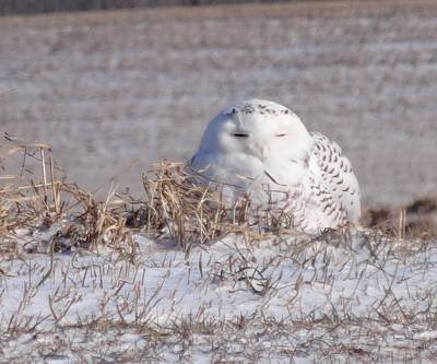 Owl In Flight Photograph - The Snowy Owl by Dan Sproul
