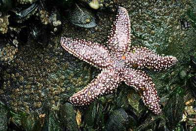 The Starfish  Print by JC Findley