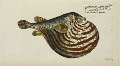 The Striped Globe Fish Print by British Library