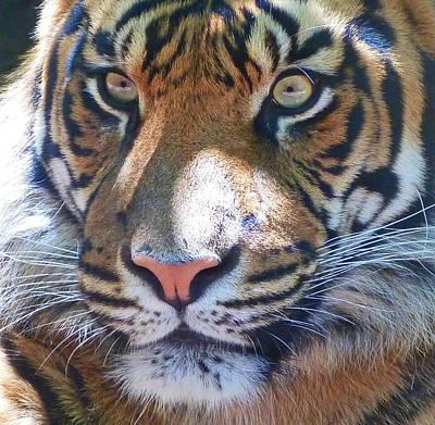 The Superb Sumatran Tiger Print by Margaret Saheed