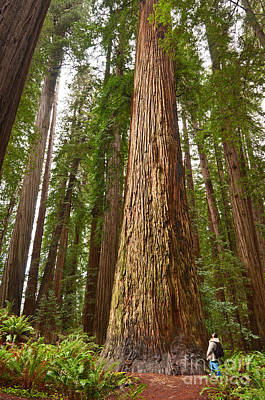 The Survivor - Massive Redwoods Sequoia Sempervirens In Redwoods National Park Named Stout Tree. Print by Jamie Pham