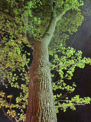 Photograph - The Tall Trees Watch by Guy Ricketts