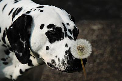 Dalmation Photograph - The Tender Soul Of Dalmation. Kokkie. Dalmation Dog by Jenny Rainbow