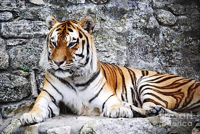 Sumatra Photograph - The Tiger by Jelena Jovanovic