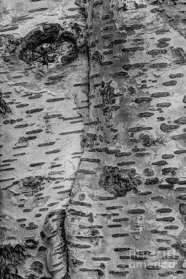 Birch Bark Photograph - The Trees Have Eyes by Heidi Smith