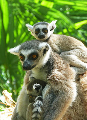 The Twins - Ring-tailed Lemurs Print by Margaret Saheed