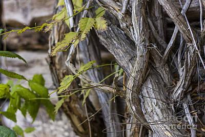 Murray Kentucky Photograph - The Vines by Amber Kresge