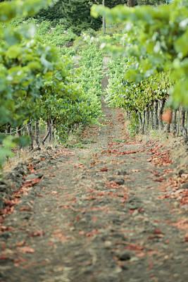 St. Helena Photograph - The Vines by Ariane Moshayedi