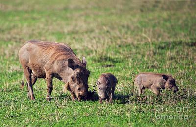 Parent Photograph - The Warthog Family On Savannah In The Ngorongoro Crater. Tanzania by Michal Bednarek