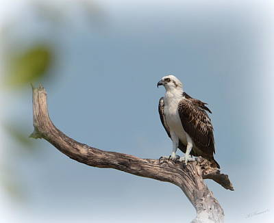 Osprey Photograph - The Watcher by Kerry Hauser