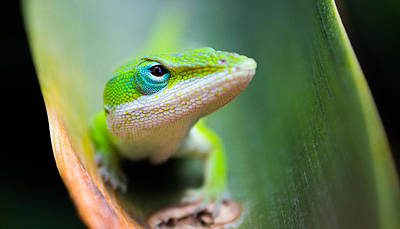 Lizard Photograph - The Watching Eye by Shelby  Young