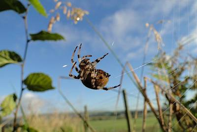 British Garden Orb Spider Photograph - The Webmaster At Work by Barrie Woodward