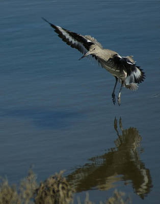 California Wildlife Photograph - The Willet by Ernie Echols
