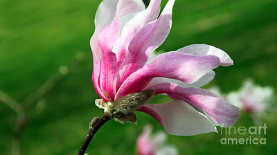 Roses Photograph - The Windblown Pink Magnolia 1 - Flora - Tree - Spring - Garden by Andee Design