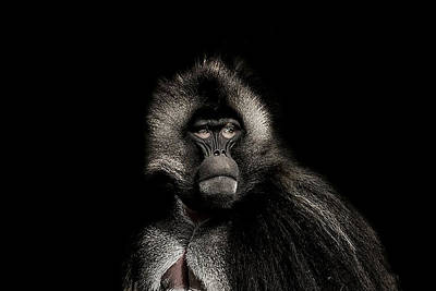 Baboon Photograph - The Young Warrior by Paul Neville