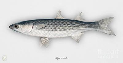 Bass Fishing Drawing - Thinlip Mullet Liza Ramada - Mulet - Morragute - Cefalo - Tainha Tunnlaeppad Multe - Roendungur by Urft Valley Art