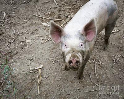 This Little Piggy Print by Edward Fielding