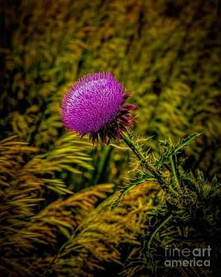 Thistle Original by Jon Burch Photography