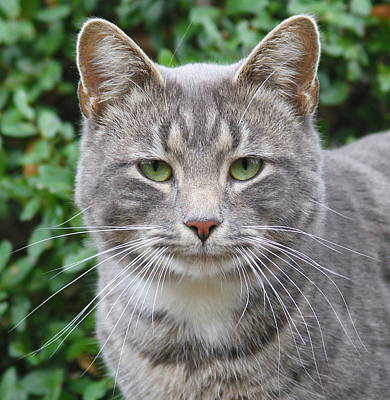 Cat Photograph - Thomas 3 by Cathy Lindsey