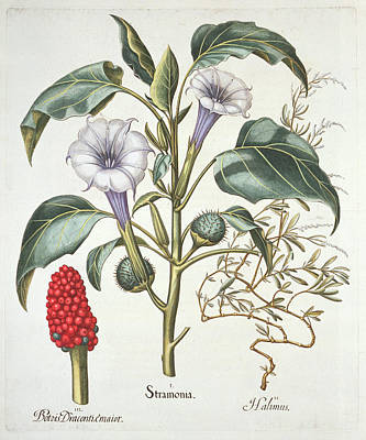 Berry Drawing - Thorn Apple, From The Hortus by German School