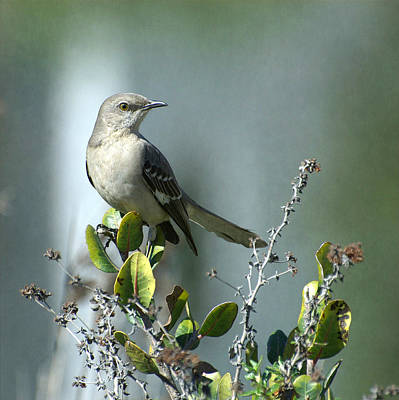 Mockingbird Photograph - Thou Shalt Not Mock by Fraida Gutovich
