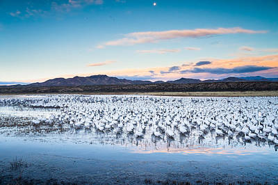 Snow Geese And Sandhill Cranes Before The Sunrise Flight - Bosque Del Apache, New Mexico Print by Ellie Teramoto