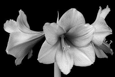 Three Amaryllis Flowers In Black And White Print by James BO  Insogna