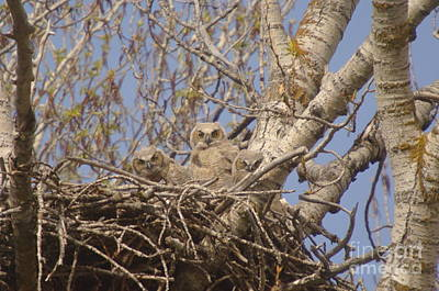 Owlet Photograph - Three Baby Owls  by Jeff Swan
