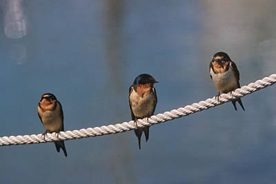 Three Barn Swallows On A Dock Line Original by John Harmon