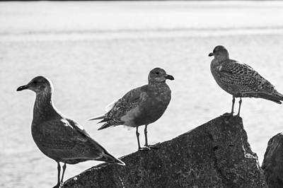 Three Gulls Print by Peter Epler