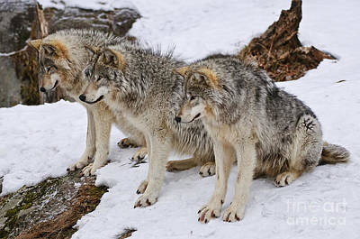 Dog Pics Photograph - Three Kings by Wolves Only