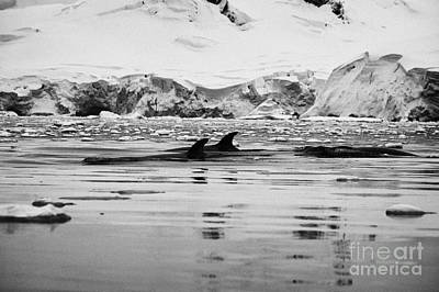 Fournier Photograph - Three Minke Whales Surfacing In Fournier Bay Anvers Island Antarctica by Joe Fox