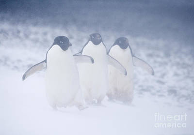 Adele Photograph - Three Penguins In A Blizzard by Carol Walker