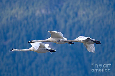 Swan Photograph - Three Swans Flying by Sharon Talson