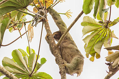 Sloth Photograph - Three Toed Sloth Climber by Natural Focal Point Photography