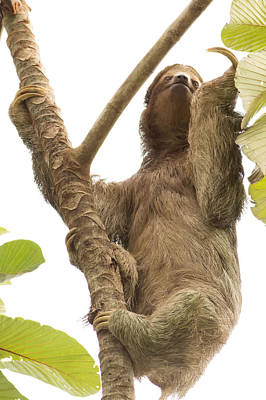 Sloth Photograph - Three Toed Sloth In Costa Rica by Natural Focal Point Photography