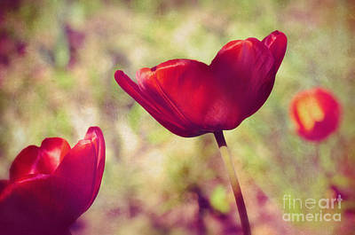 Three Tulips Print by Silvia Ganora
