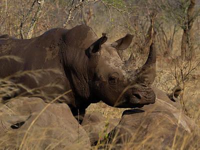 Rhinoceros Photograph - Three White Rhinoceros Ceratotherium by Panoramic Images