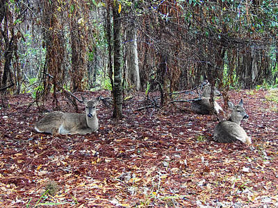 Fine Art Photograph - Three Whitetail Does 000 by Chris Mercer